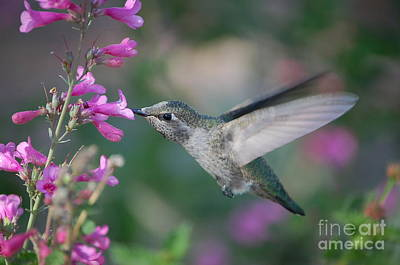 Photograph - Hummingbird by Frank Stallone