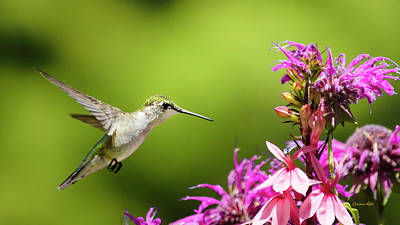 Photograph - Hummingbird Garden Glory by Christina Rollo