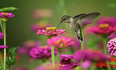 Photograph - Hummingbird Garden by Linda Shannon Morgan