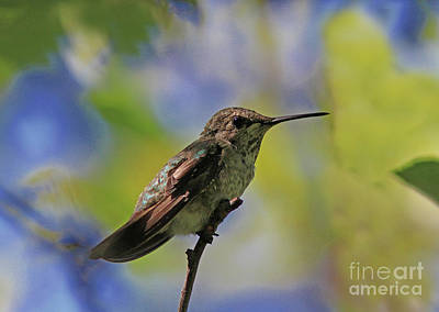 Black Photograph - Hummingbird by Gary Wing