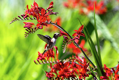 Photograph - Hummingbird Getting Nectar From Flower by David Gn