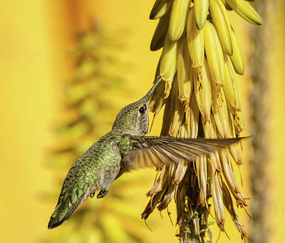 Photograph - Hummingbird Gold  by Saija Lehtonen