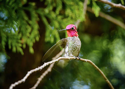 Photograph - Hummingbird Gorget by Kathy King