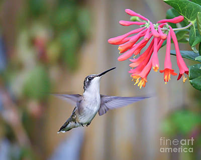 Photograph - Hummingbird Happiness 2 by Kerri Farley