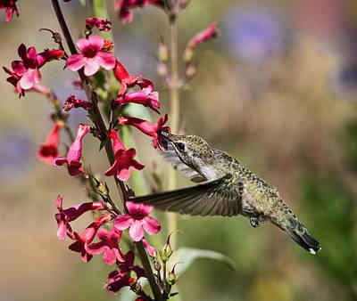 Photograph - Hummingbird Haven  by Saija Lehtonen