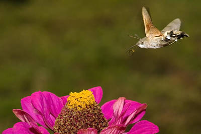 Photograph - Hummingbird Hawkmoth  by Cliff Norton