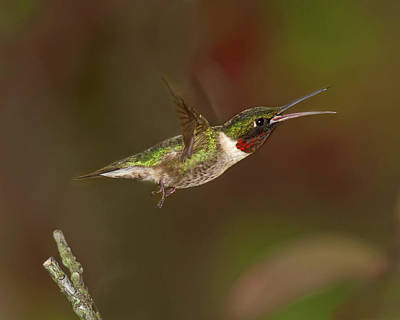 Photograph - Hummingbird Hot Pursuit Version 2 by Lara Ellis