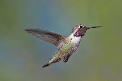 Photograph - Hummingbird Hover by Dan McManus