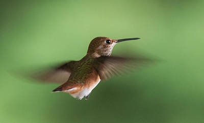 Photograph - Hummingbird Hovering by Angie Vogel