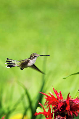 Photograph - Hummingbird Hovering Over Flowers by Christina Rollo