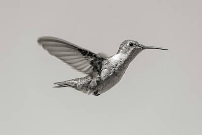 Birds Rights Managed Images - Hummingbird in Black and White Royalty-Free Image by Betsy Knapp