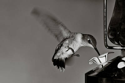 Hummingbird In Black And White Art Print by Edward Myers