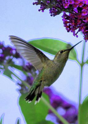 Hummingbirds Photograph - Hummingbird In Butterfly Bush by Carol Groenen
