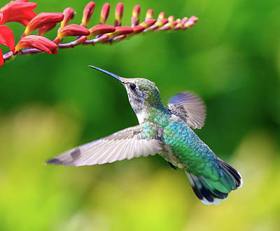 Photograph - Hummingbird In Flight by Athena Mckinzie