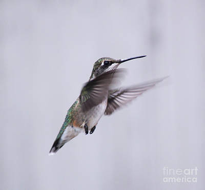 Photograph - Hummingbird In Flight  by Cathy  Beharriell
