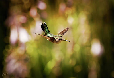 Christina Conway Royalty-Free and Rights-Managed Images - Hummingbird in Flight by Christina Conway