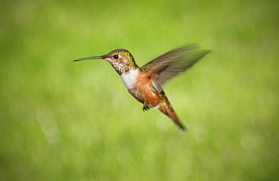 Photograph - Hummingbird In Flight by Denise Bird