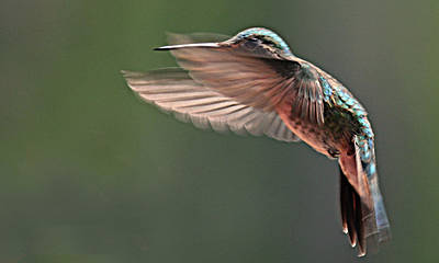 Photograph - Hummingbird In Flight by Diana Douglass