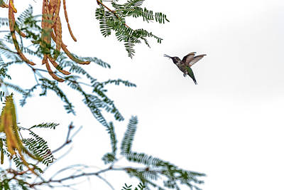 Photograph - Hummingbird In Flight Isolated On White Sky by Susan Schmitz