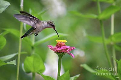Photograph - Hummingbird In Flight by Karen Adams