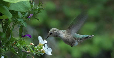 Photograph - Hummingbird In Flight by Marilyn Wilson