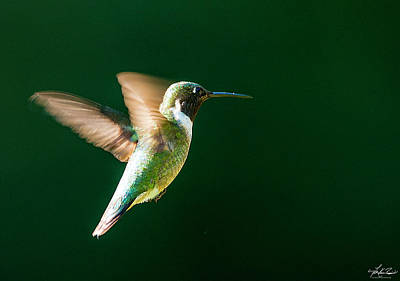 Photograph - Hummingbird In Flight by Philip Rispin