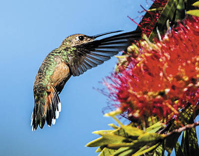 Photograph - Hummingbird In Flight Showing Detail Of Tail Feathers by William Bitman