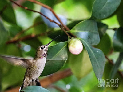 Photograph - Hummingbird In Flight by Suzanne Luft