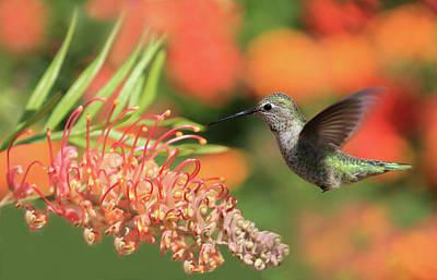 Photograph - Hummingbird In Mid-flight by Kay Kochenderfer