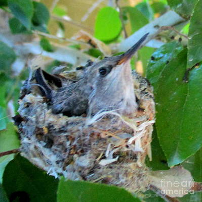 Photograph - Hummingbird In Nest 1 by Randall Weidner