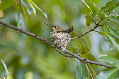Photograph - Hummingbird In Oak Tree by Don Wolf