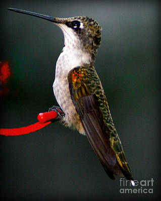 Olympic Sports - Hummingbird in Profile by Paul Wilford