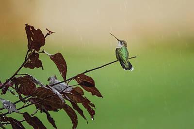 Photograph - Hummingbird In Rain by Jessica Nelson