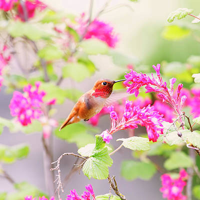 Hummingbird In Spring Art Print