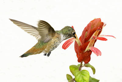 Photograph - Hummingbird In The Flower by Phil Stone
