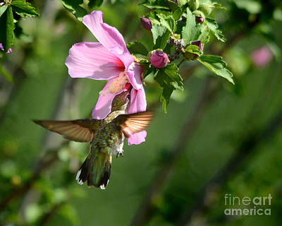 Photograph - Hummingbird In The Garden by Nava Thompson