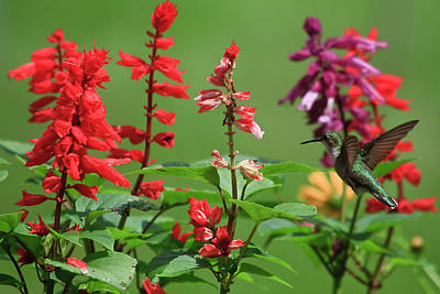 Photograph - Hummingbird In The Salvia by Jill Lang