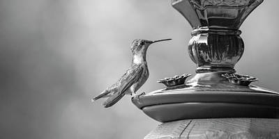 Birds Rights Managed Images - Hummingbird Intrigue  Royalty-Free Image by Betsy Knapp
