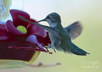 Photograph - Hummingbird Landing by Carol Groenen