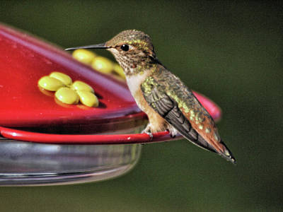 Photograph - Hummingbird by Lawrence Christopher