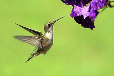 Photograph - Hummingbird by Lou Ford