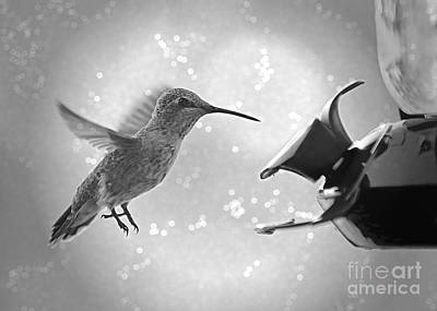 Photograph - Hummingbird Magic - Black And White by Carol Groenen
