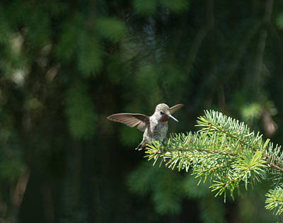 Photograph - Happy Hummingbird - Original by Marilyn Wilson