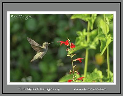 Photograph - Hummingbird Matte 2 Id by Tam Ryan