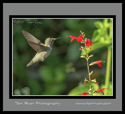 Photograph - Hummingbird Matte3 Id Cr by Tam Ryan