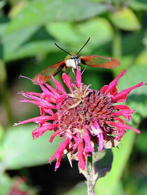 Photograph - Hummingbird Moth 0853 by Guy Whiteley
