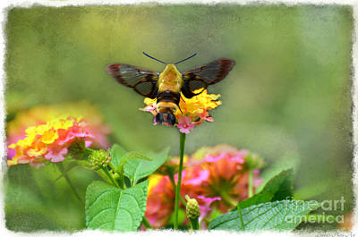 Photograph - Hummingbird Moth 1 by Debbie Portwood