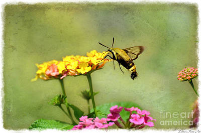 Photograph - Hummingbird Moth 2 by Debbie Portwood