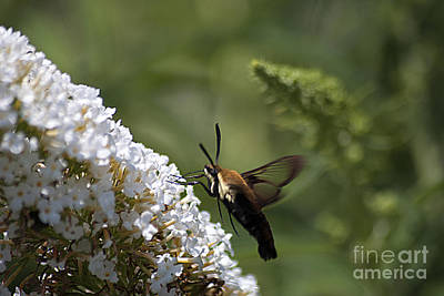 Photograph - Hummingbird Moth 20120802_292 by Tina Hopkins