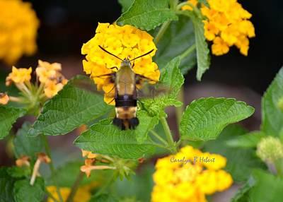 Wall Art - Photograph - Hummingbird Moth Collecting Nectar by Carolyn Hebert